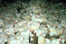 брлезни цыплят