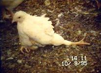 болезни домашних птиц
